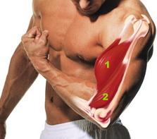 Основная группа мышц упражнения- Подъем штанги на бицепс стоя